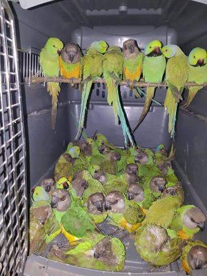 (Photos) - AIBD : 131 perroquets saisis dans... deux petites valises !