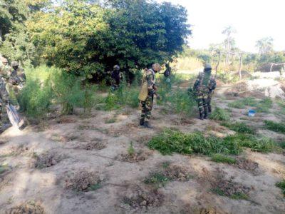 Oulampane (Ziguinchor) : L'Armée détruit deux champs de cannabis