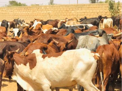 Photos - Célébration du 17 avril : Sokhna Aïda Diallo convoie des milliers de bœufs à Médinatu Salam